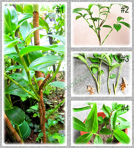 Propagating Cheilocostus speciosus (Crepe/Spiral Ginger) by separating its offsets or plantlets, March 21 2014