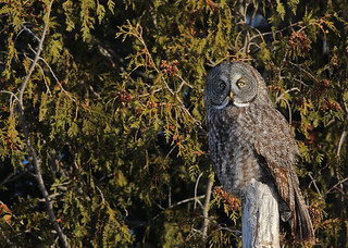 Great Gray Owl...#6