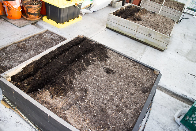Sugar Snap Pea Planting 2014_6