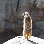 Meerkat, San Diego Zoo