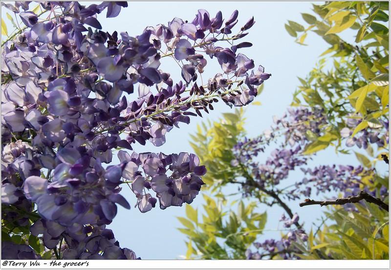 2014-04-05 紫藤花-5