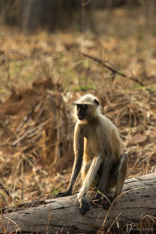 Gray langur - Tadoba Andhari Tiger Reserve