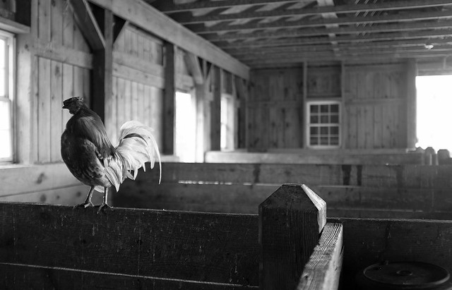 Rooster, Lull Farm, Hollis NH