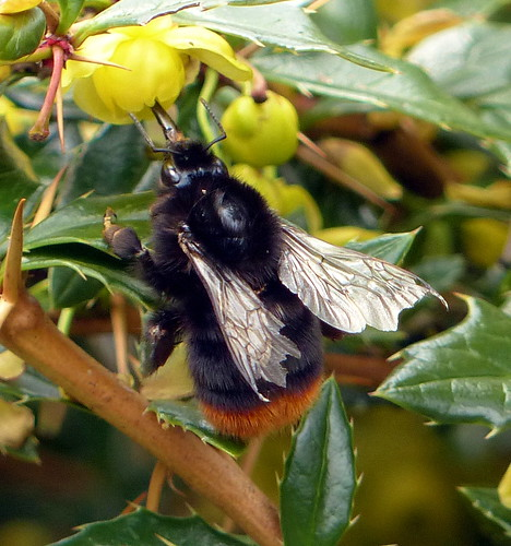 Redtailed_Bumble_Bee