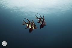 australia (diving)