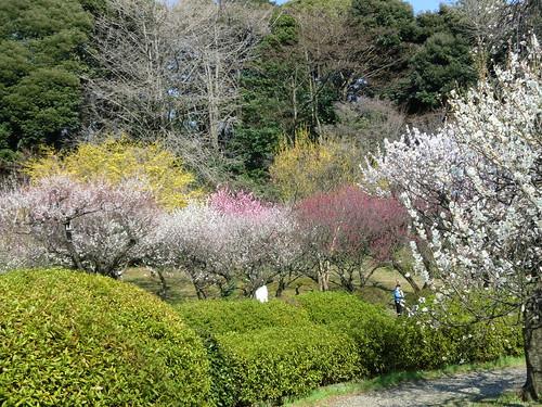 20120328小石川植物園-106