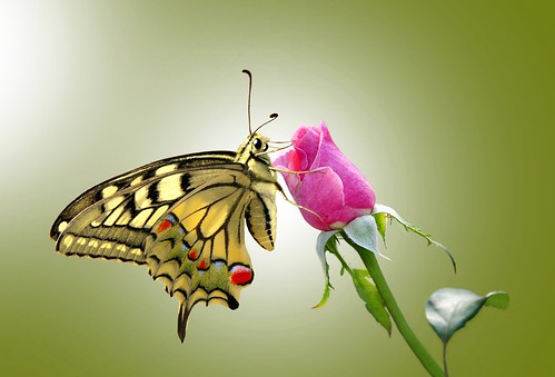 Butterfly on pink rose......!!!
