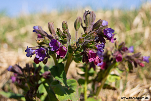 Die Blüten des Lungenkrauts (Pulmonaria officinalis)