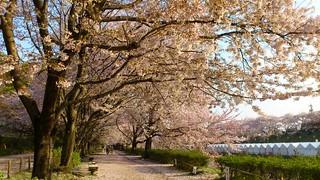 桜吹雪、桜の絨毯(じゅうたん) 2012.4.12