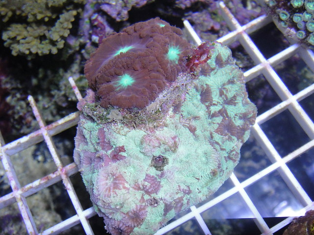 6938844208 8438322219 z - Corals For Sale --- OHIO