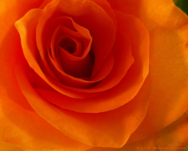 a flaming orange rose