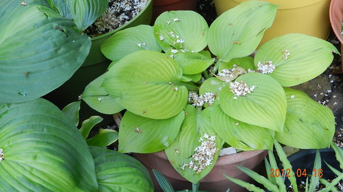 Hosta12Apr185-Faith