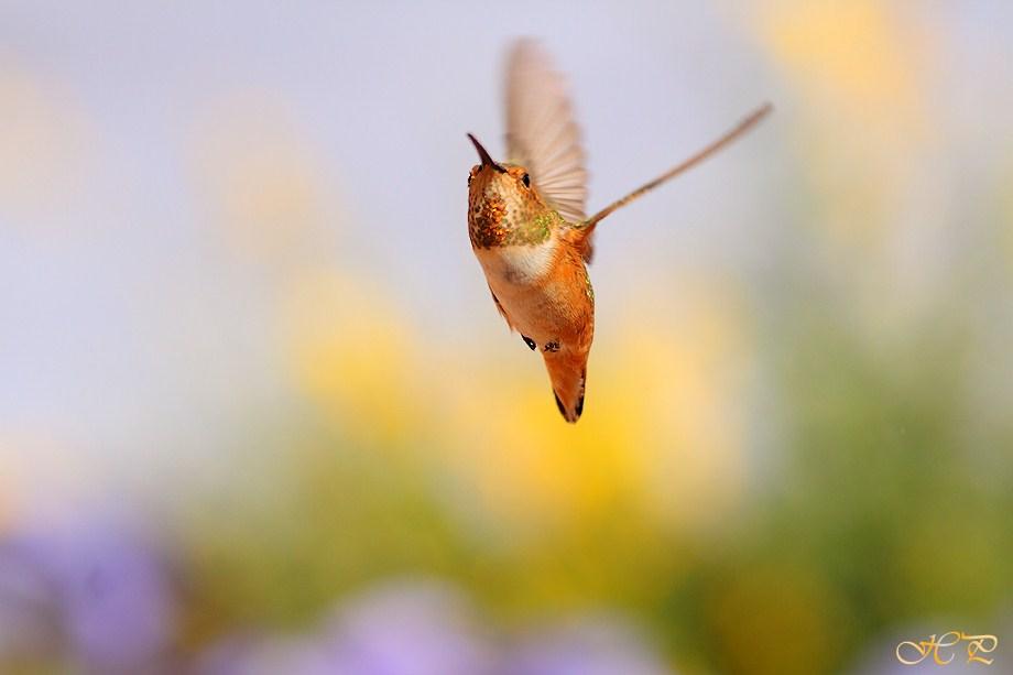 Allen's Hummingbird050112-2