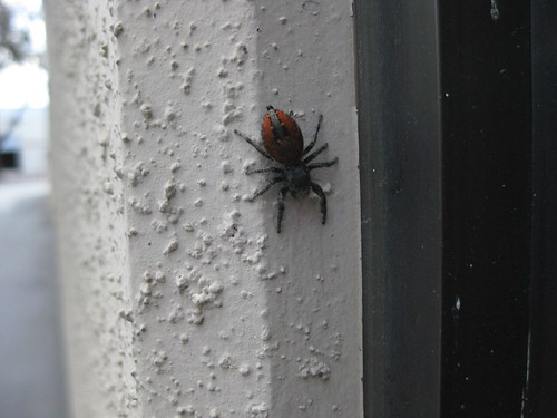 Red-backed Jumping Spider 7