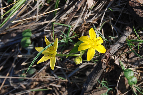 Picture of Common Goldstar, a spring wildflower seen while hiking in the Missouri Ozarks.