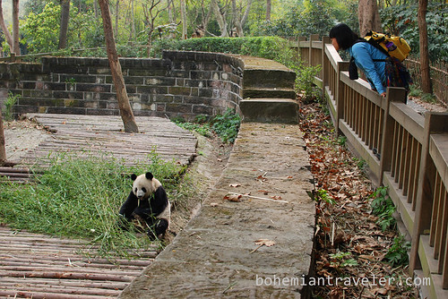 Pandas in Chengdu China 1