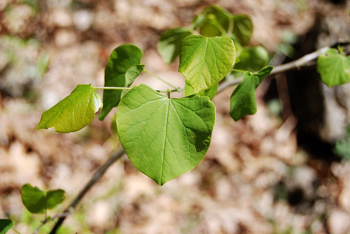 New green leaves of the Redbud tree, Cercis canadensis, taken at Piney Creek Wilderness in Missouri