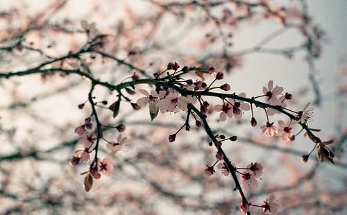 Sakura of Elsass