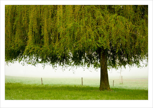 Eenzame wilg / lonely willow in the mist