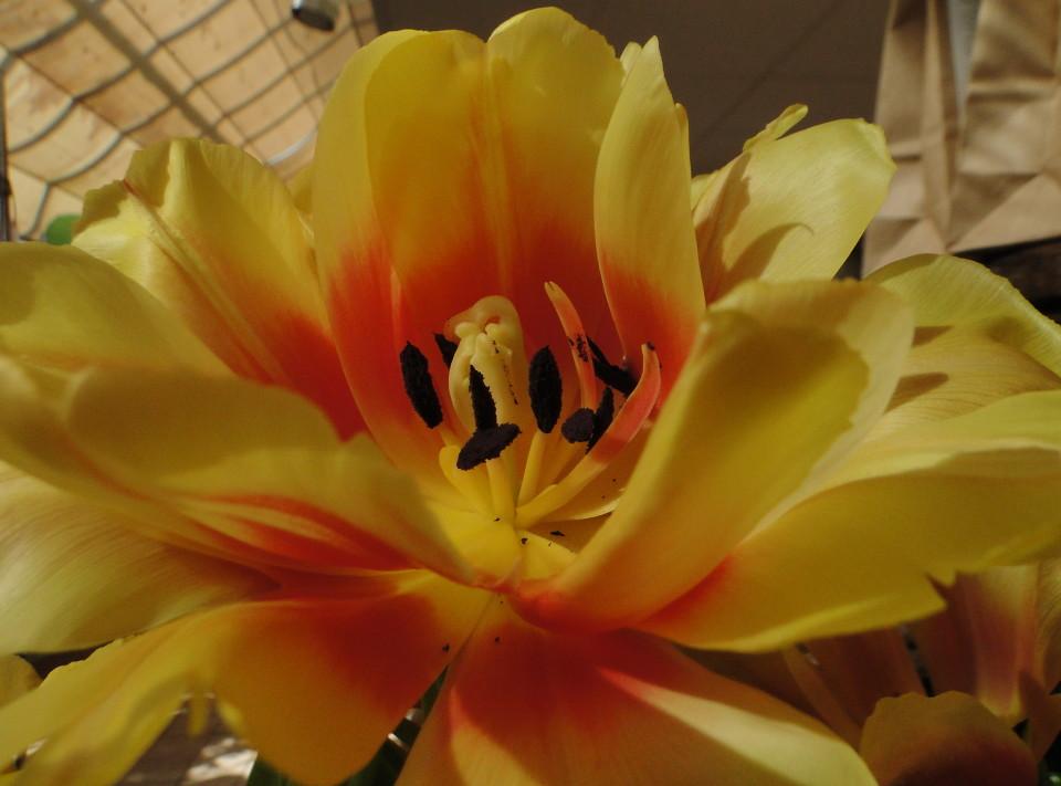 77-21apr12_4011_Botanical_garden_tulip