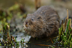That Vole Smile