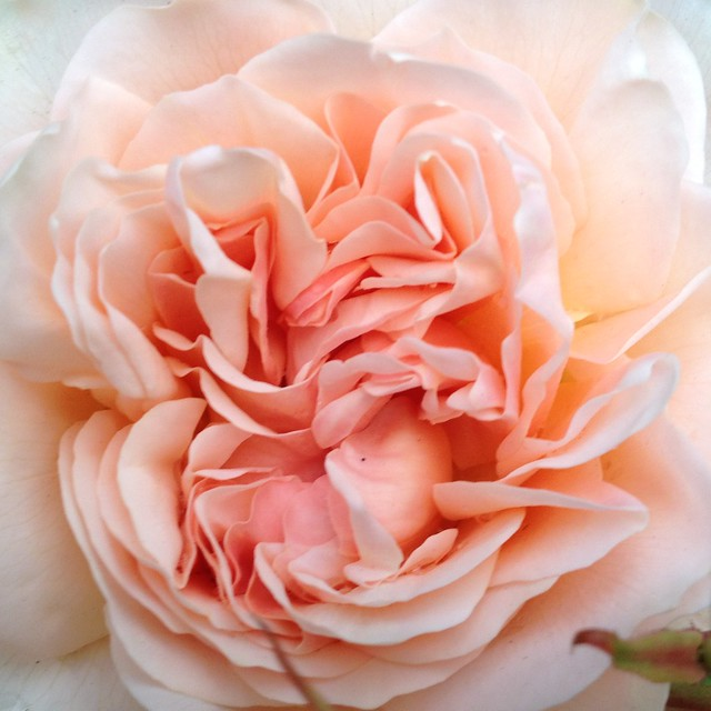 rose, unfolding.