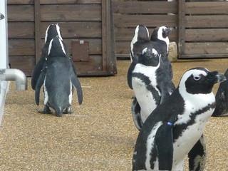 ペンギン 京都水族館