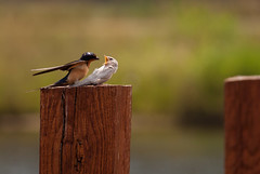 Adult Barn Swallow feeding leucistic juvenile
