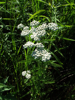 yarrow tops in flower