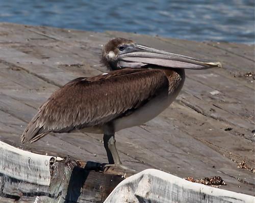 Brown pelican, Sherman Island Marina, Sacramento Co., CA  7/8/12