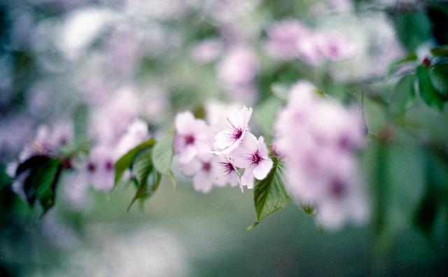 Spring memories : sakura