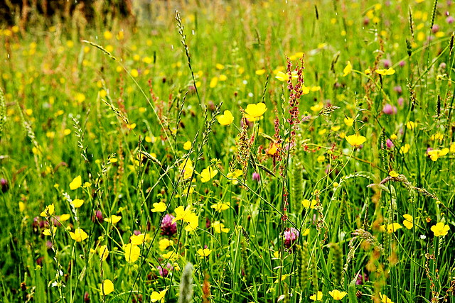 Wildflowers in a meadow in the yorkshire dales, swaledale