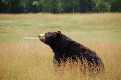 animal, american black bear, mammal, grizzly bear, fauna, brown bear, bear, grassland, safari, wildlife,