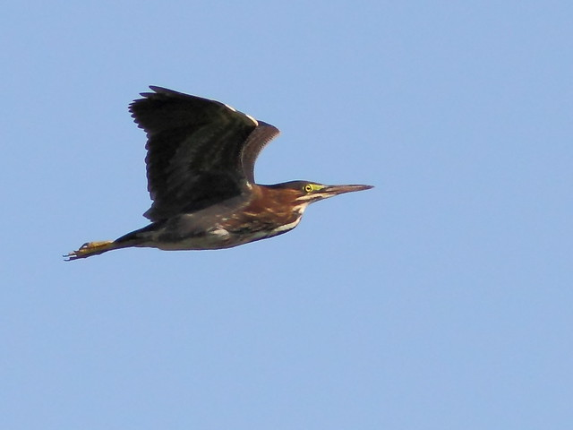 Green Heron in flight 2-20120717