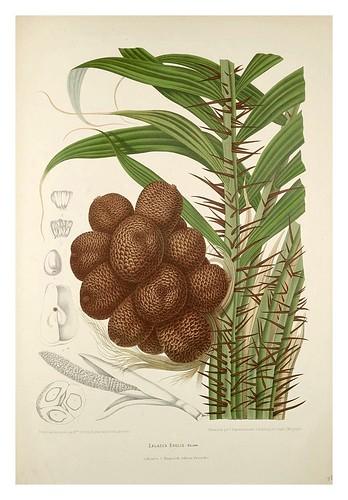 023-Salac especie de palmera de Indonesia-Fleurs, fruits et feuillages choisis de l'ille de Java-1880- Berthe Hoola van Nooten