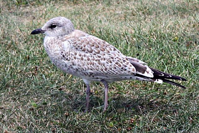Female seagull - photo#7