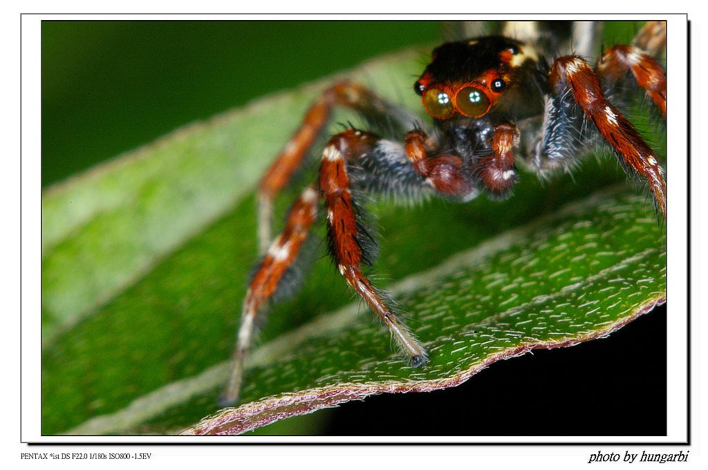 1010805微距習拍-蜘蛛!