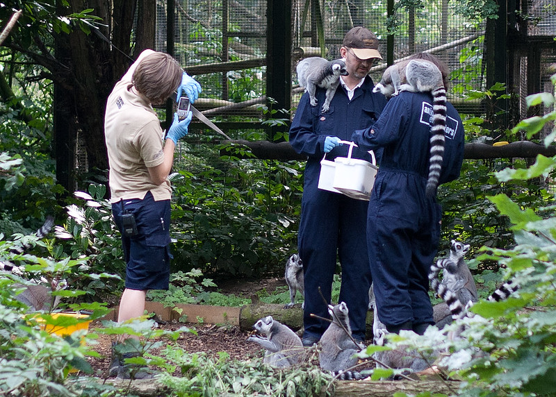 Ring Tailed Lemur Experience