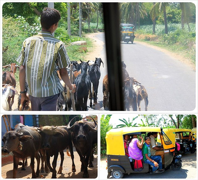 Streets in India with goats buffalos tuktuks