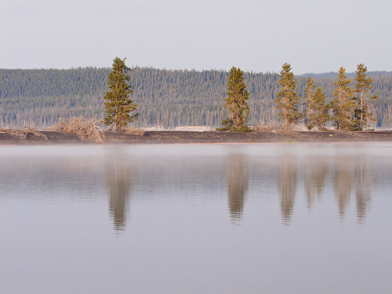lodgepole tree reflection on Yellowstone Lake