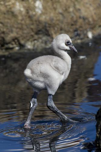 Lesser flamingo chick