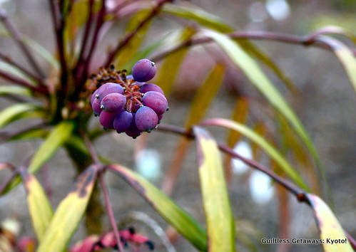 plant-with-grape-like-berries.jpg