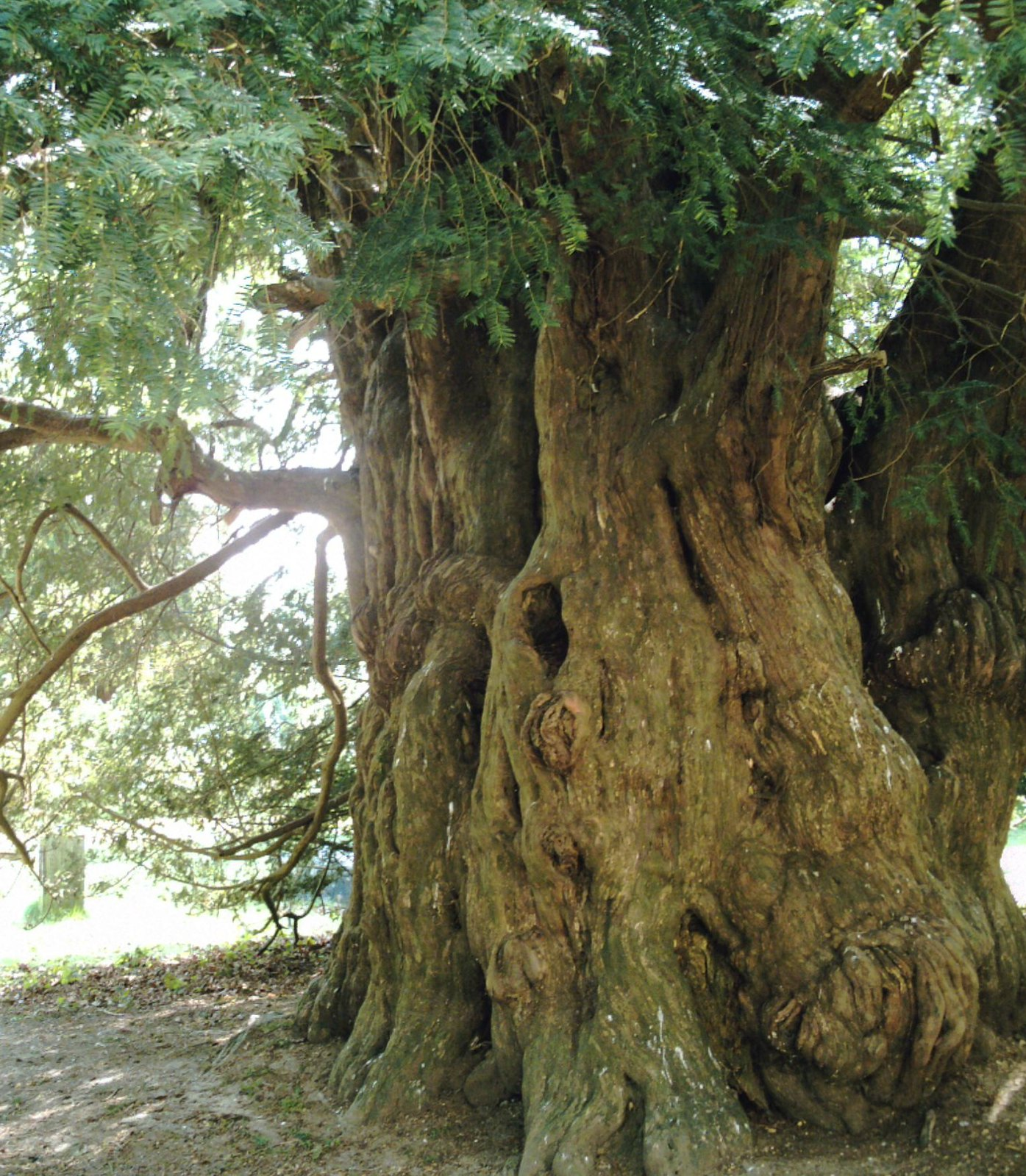 'Yew so ancient!' 800 year old Yew at St Mary's Parish Church Slaugham; even older than some Ramblers. D.Allen Vivitar 5199 5mp