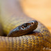 Brown Snake at Cleland Park-0749.jpg