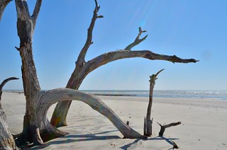 Dead Tree on Charleston Beach, March 2011