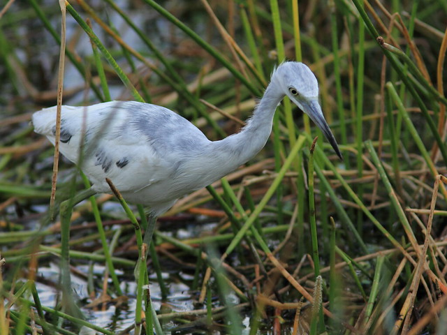 Little Blue Heron immature 2-20120318