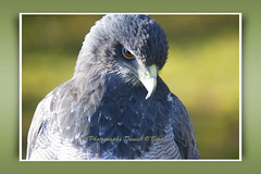 Buzzard Eagle