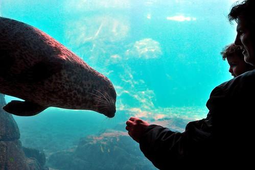 Coney Island Harbor Seal