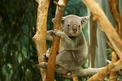 animal, branch, zoo, mammal, koala, fauna, wildlife,
