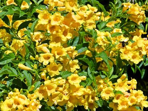 flores de guarán  amarillo (tecoma stans)  con abejorro